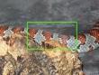 Lampropeltis mexicana mexicana - Wylinka