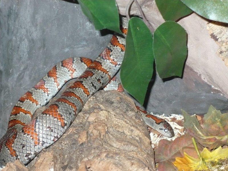 41fd45d28d0b44 Lampropeltis mexicana mexicana - mkey's Snake Blog