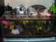 Lampropeltis mexicana mexicana - Terrarium