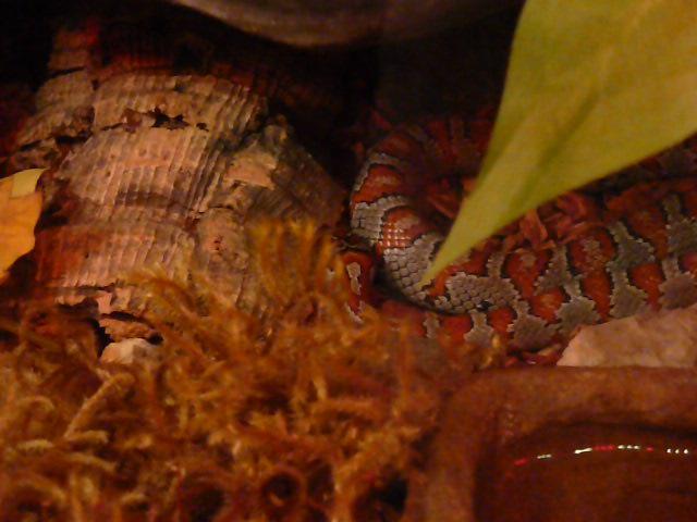 Lampropeltis mexicana mexicana - Odpoczynek po jedzeniu