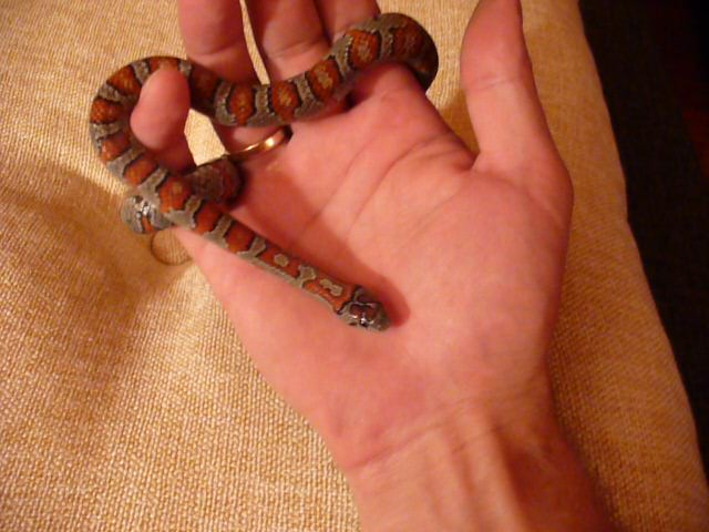 Lampropeltis mexicana mexicana - SPACEREK