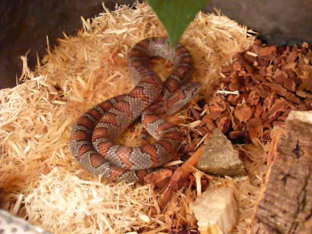 Lampropeltis mexicana mexicana - Juanita tuż przed wylinką