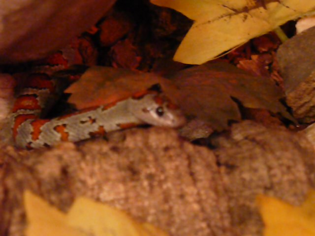 Lampropeltis mexicana mexicana - Pozowanie po karmieniu