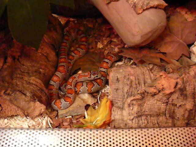 Wesołe hasanie węża