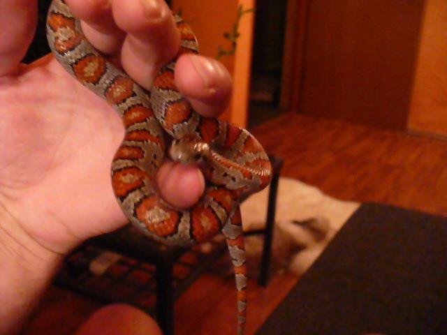Jak rozwiązać ten wężowy węzeł