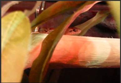 Lampropeltis mexicana mexicana - Huśtawka